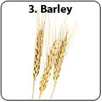 Stalks of barley. - Copyright – Stock Photo / Register Mark
